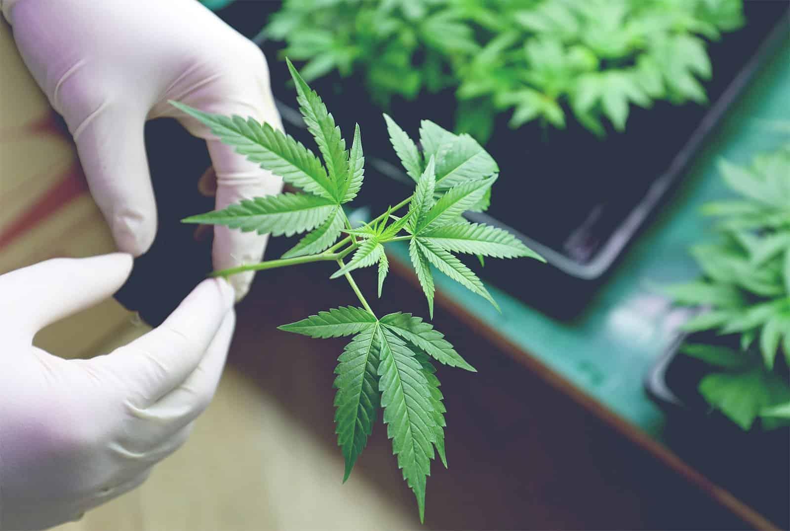 Снижает ли марихуана артериальное давление методы курения конопли